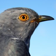 Dart Cuckoo