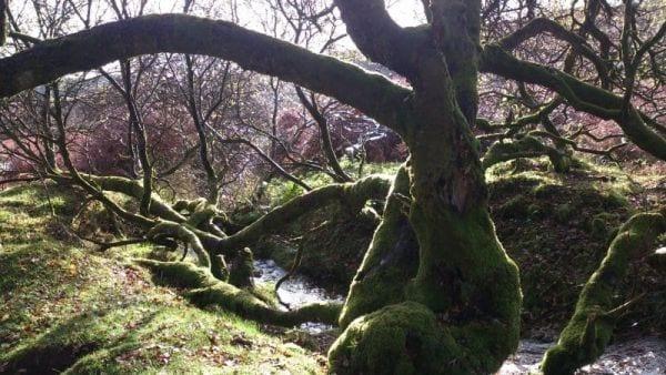 Tree Below Birch Tor