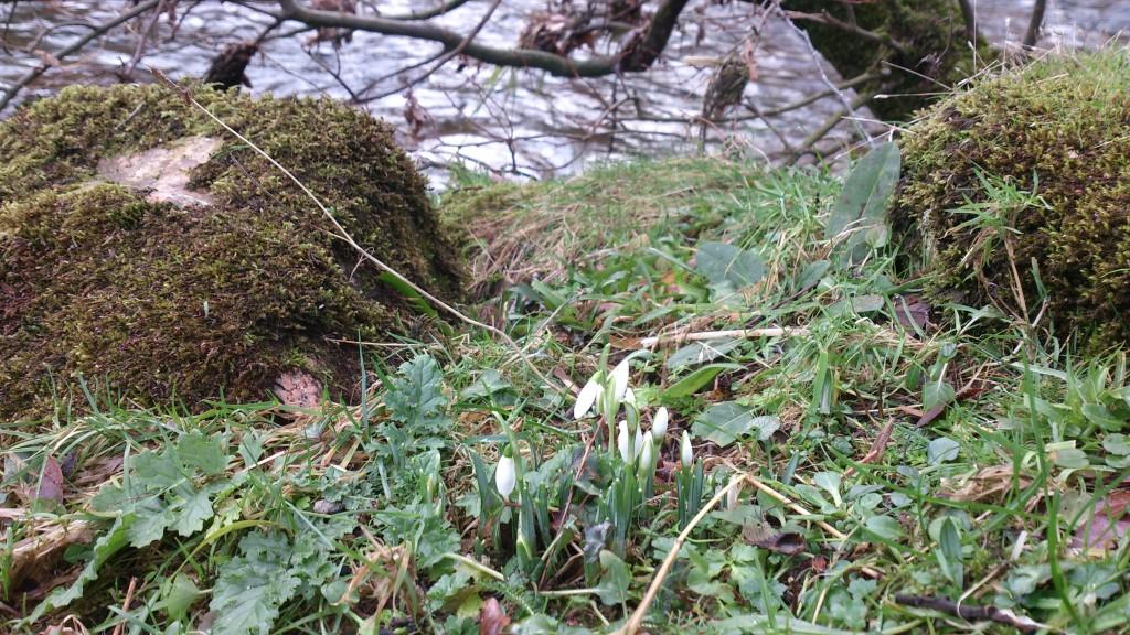 Snowdrops Spitchwick