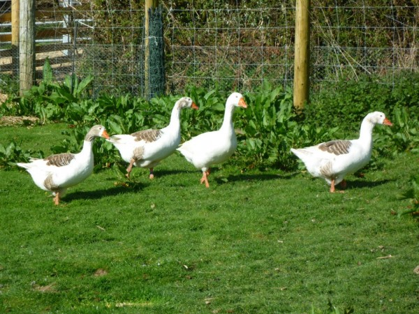 Geese 3