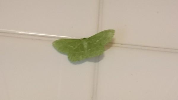 Green Moth Edale