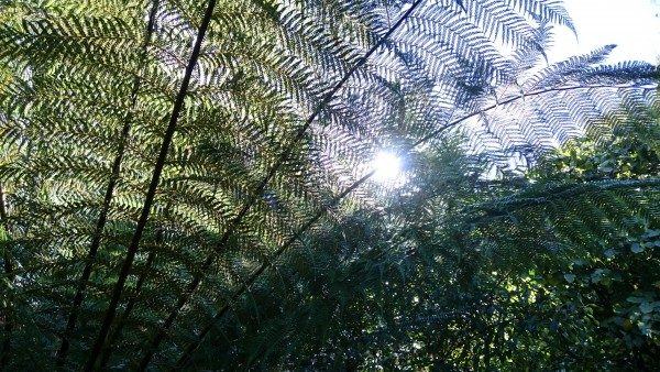 scilly-tresco-garden-fern